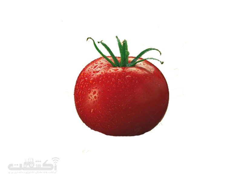 فروش بذر گوجه فرنگی هیبرید رقم سوپر اوربانا