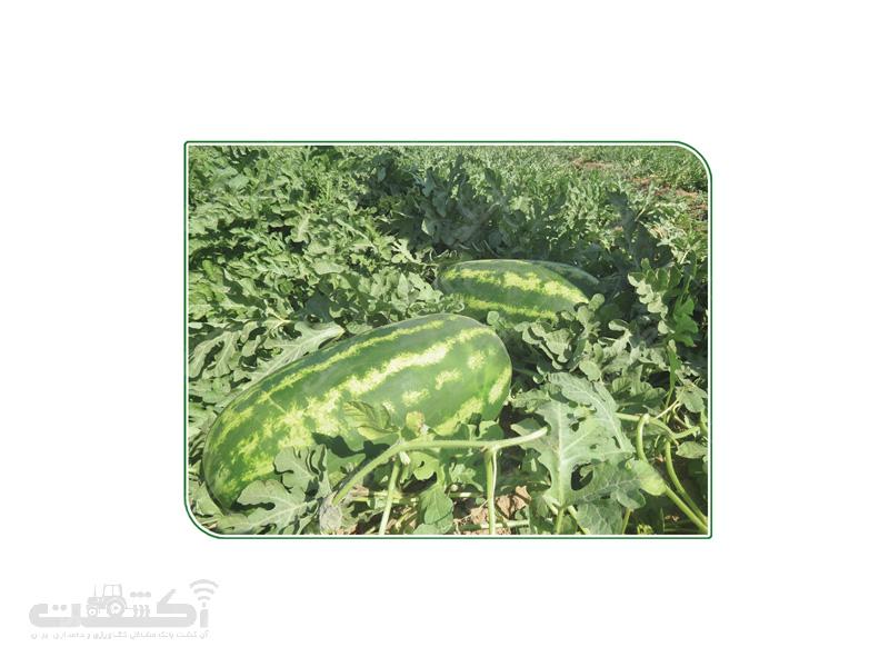 فروش بذر هندوانه هیبرید رقم CNUS 008