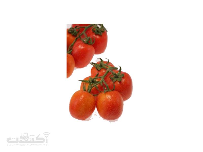 فروش بذر گوجه فرنگی رقم سوپر چف