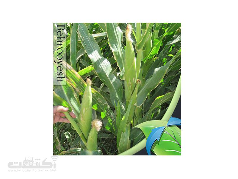 فروش بذر ذرت هیبرید فضای باز دراخما