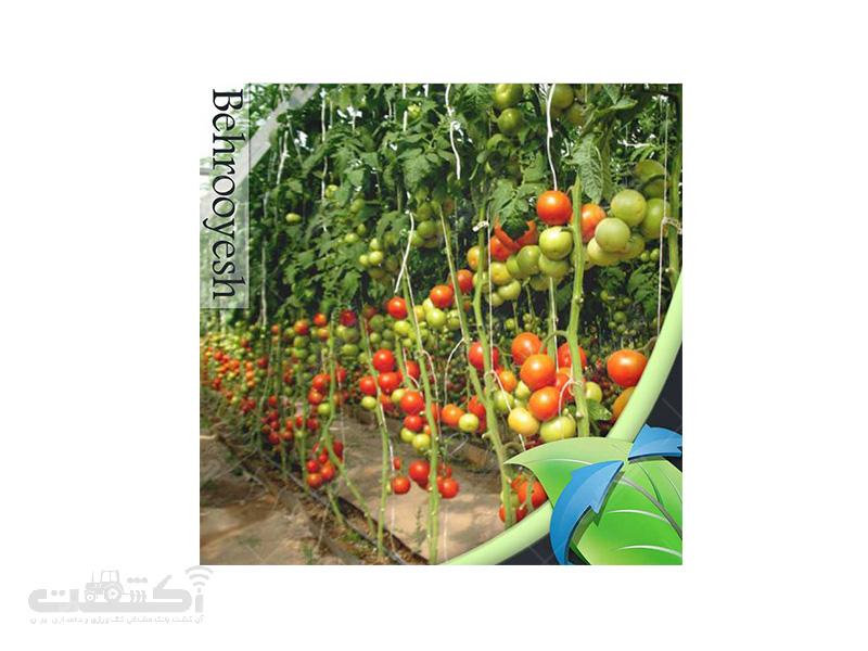 فروش بذر گوجه فرنگی گلخانه ای هیراد