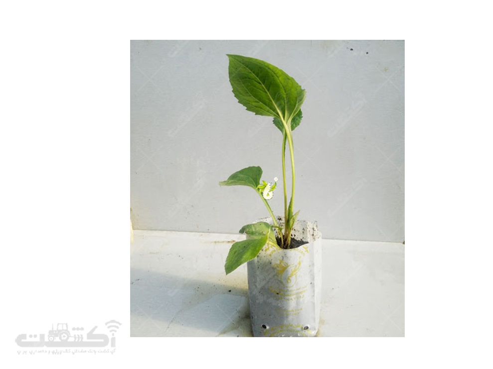 فروش نشاء و بذر سرخارگل با کیفیت عالی