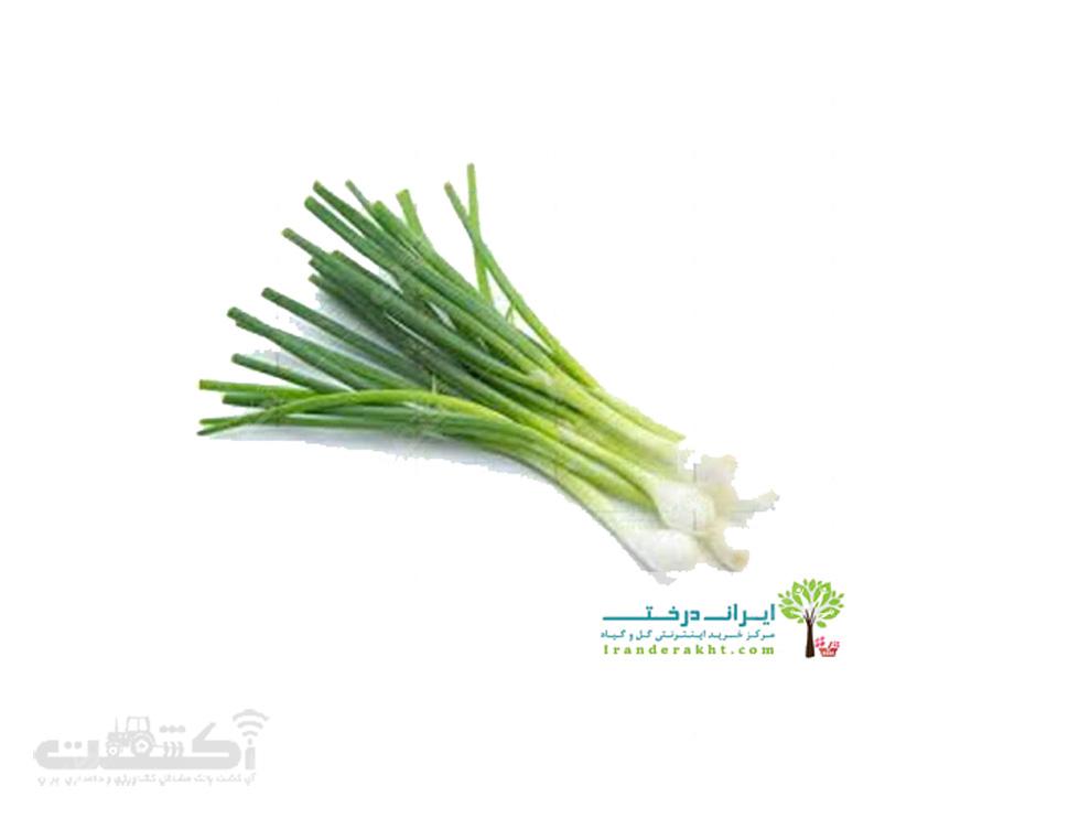فروش بذر پیازچه