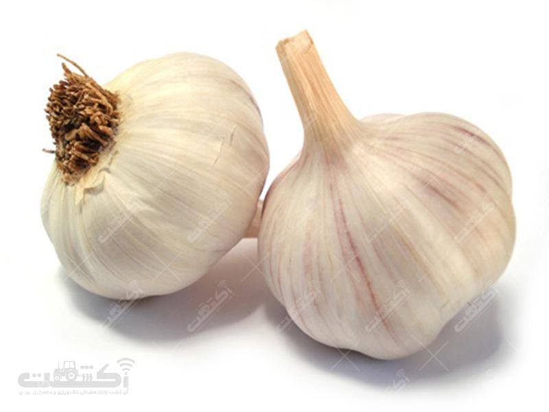 فروش انواع سیر خوراکی و بذری استان همدان