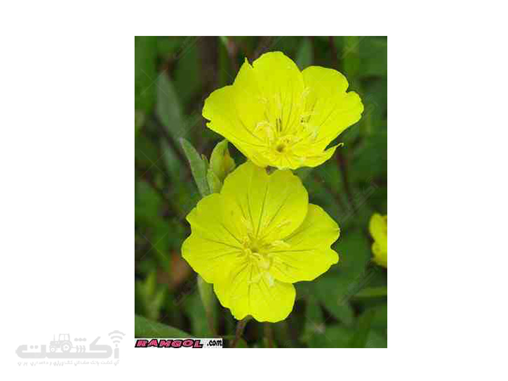 فروش بذر گل مغربی