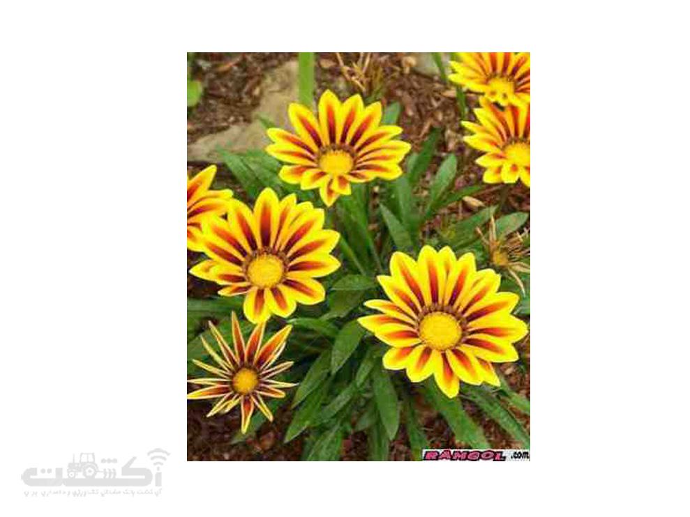 فروش بذر گل گازانیا