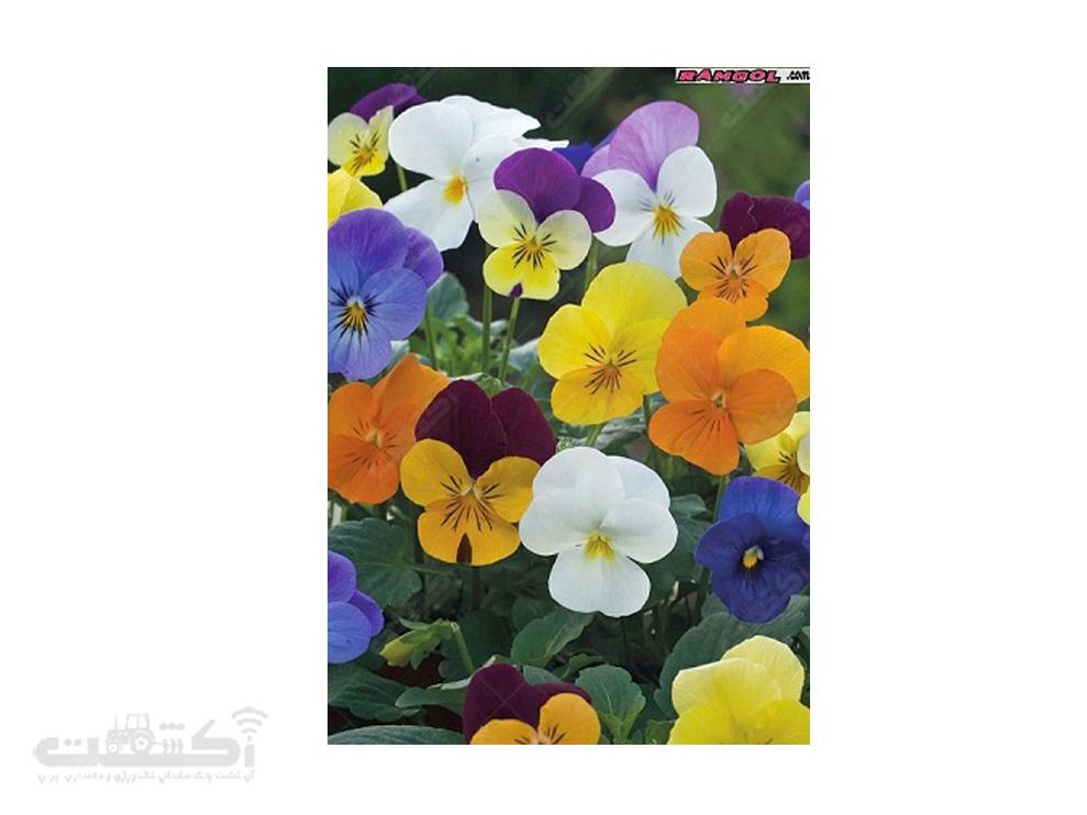 فروش بذر گل بنفشه