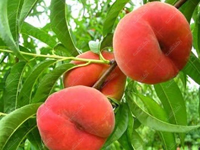 محصولات باغی حاج داوود حسینی دلند