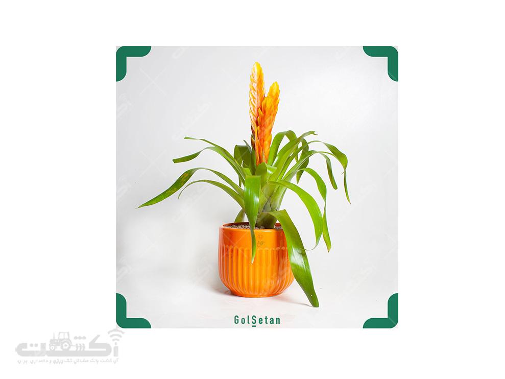 فروش گل وریزیا نارنجی