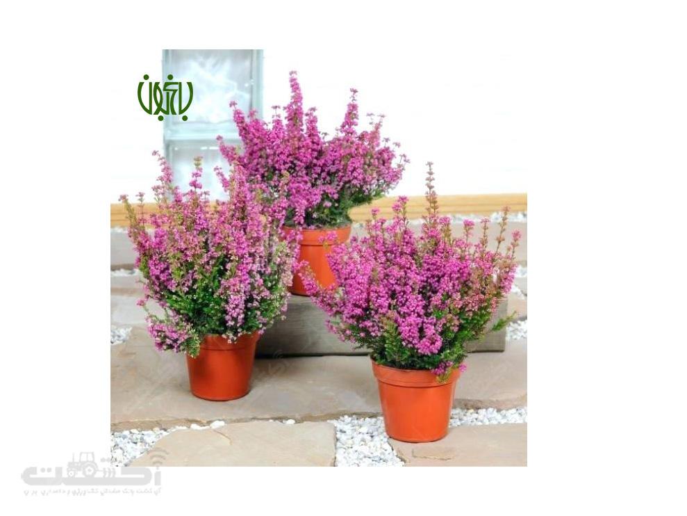 فروش گل علف جارو