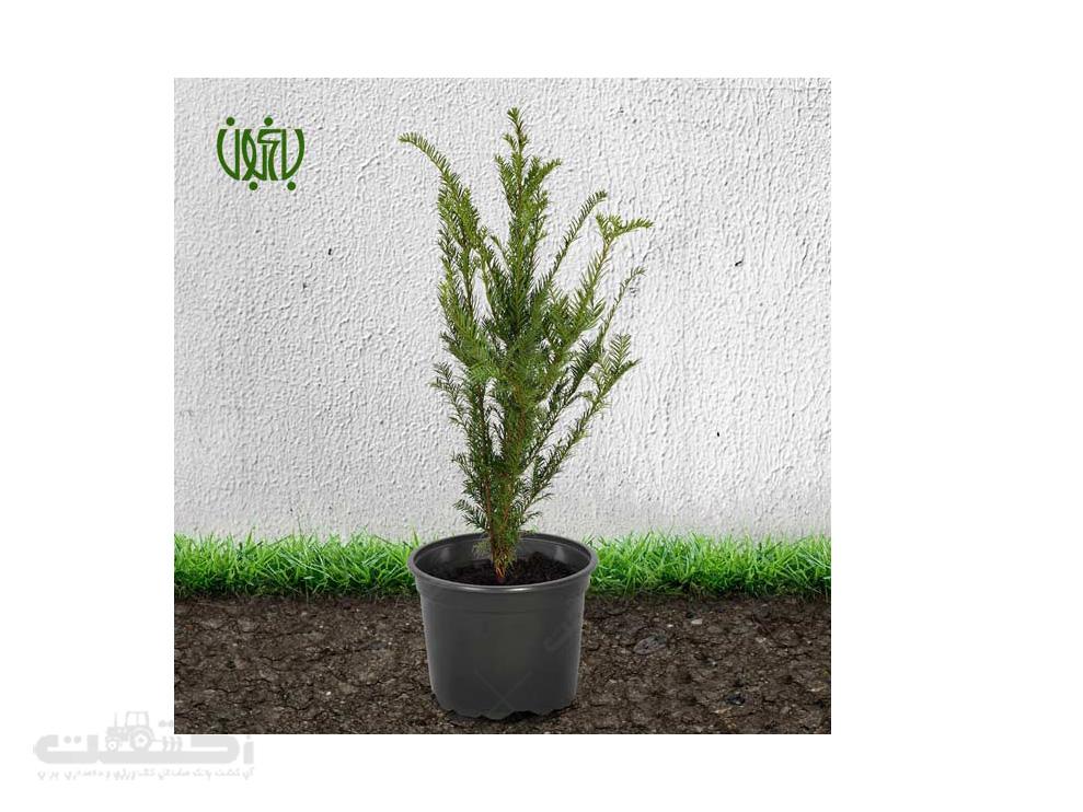 فروش گیاه فضای باز تاکسوس (سرخدار)