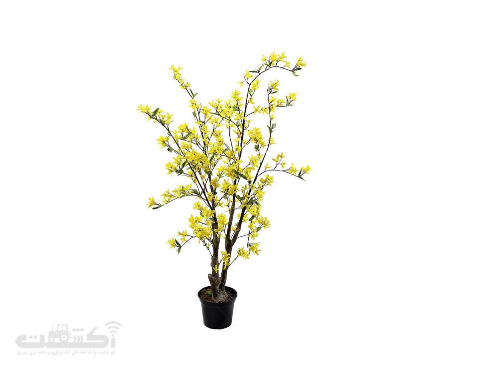 فروش گل یاس زرد