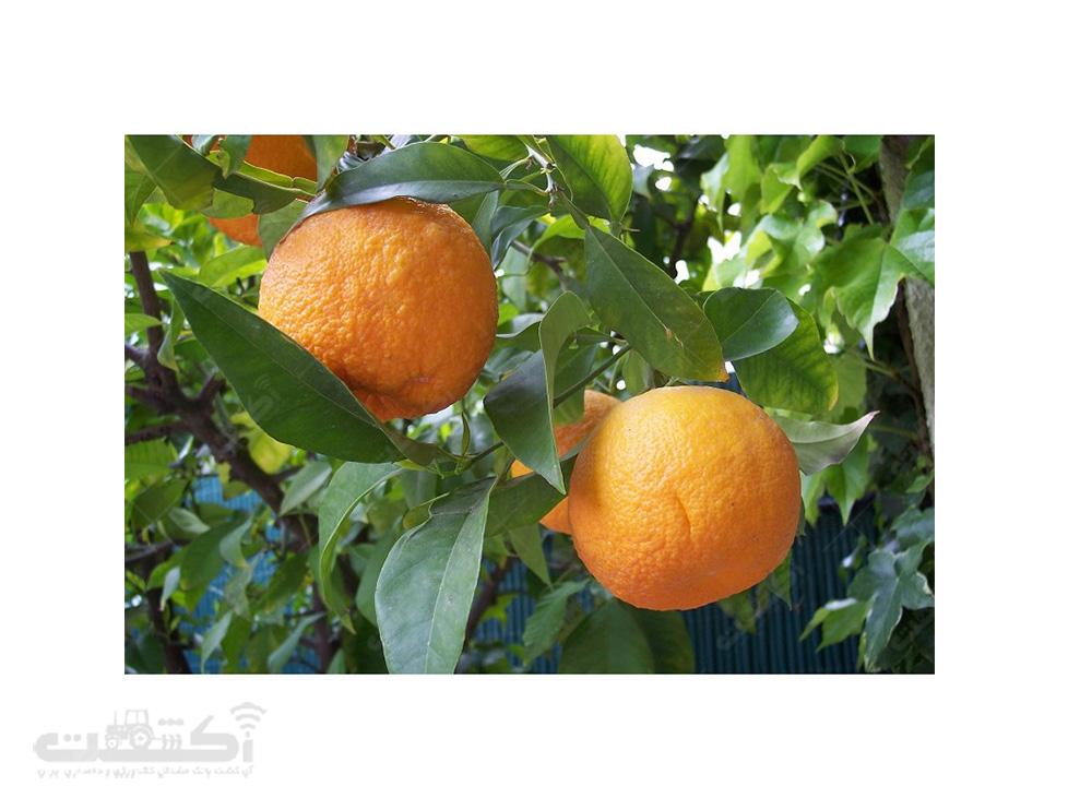 فروش بذر درخت میوه نارنج