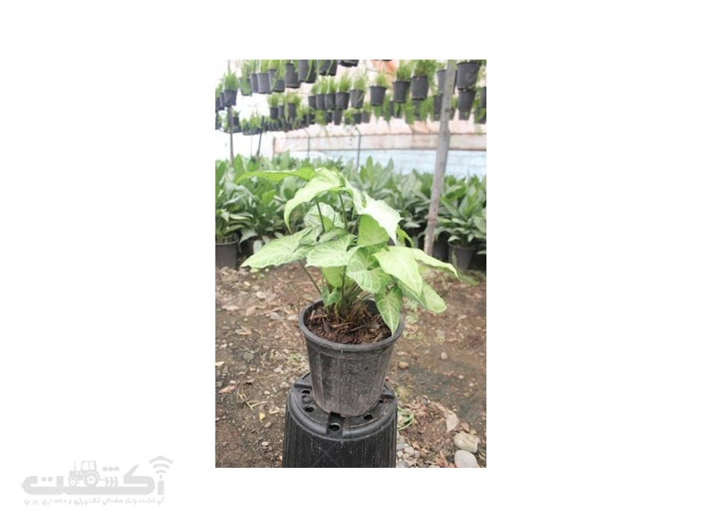 فروش گیاه سینگونیوم