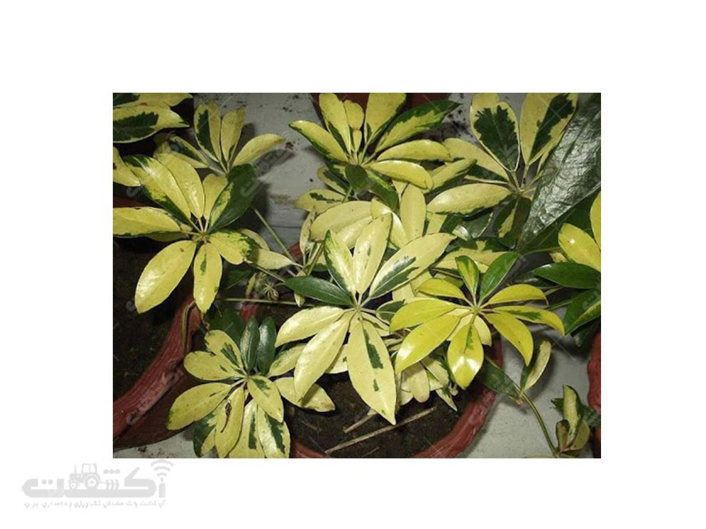 فروش گیاه شفلرا آربوریکُلا ابلق