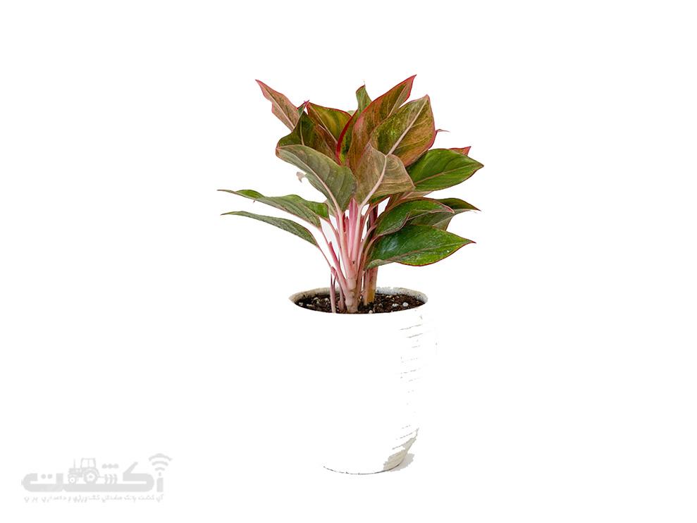 فروش گیاه آگلونما لب ماتیکی