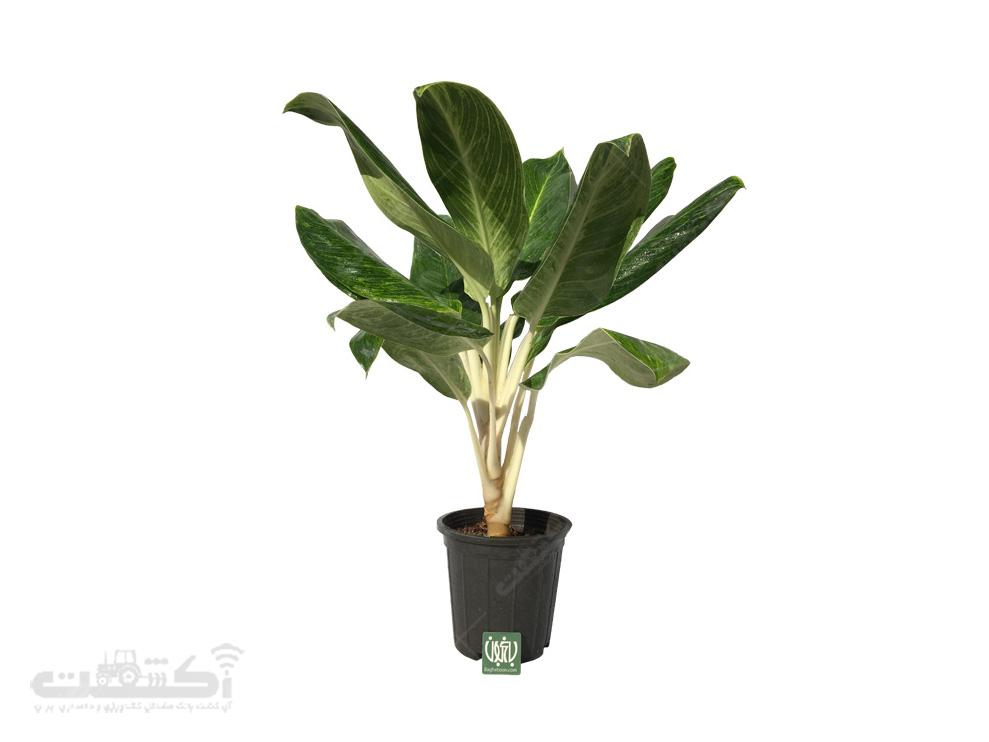 فروش گیاه آگلونما طلایی