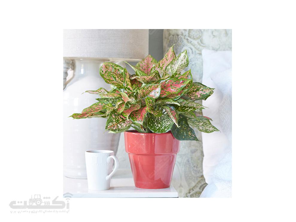 فروش گیاه آگلونما رنگی