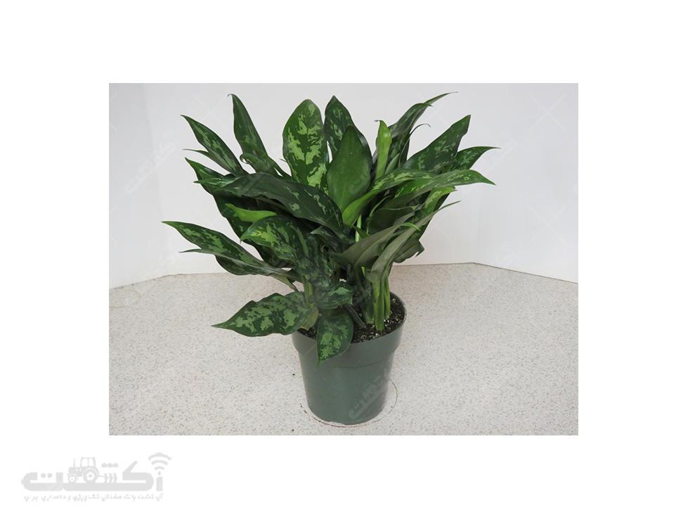 فروش گیاه آگلونما سبز