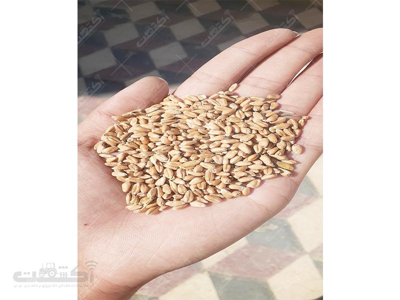 فروش ۱۸۰۰ کیلو گندم پاکشده داخل گونی درشهر خنج فارس