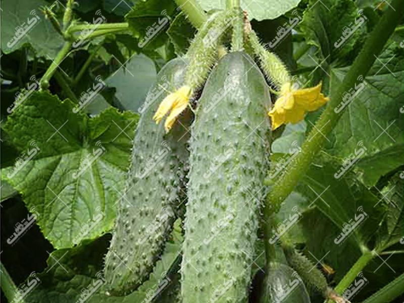 کارشناس زراعت،گلستان دلند