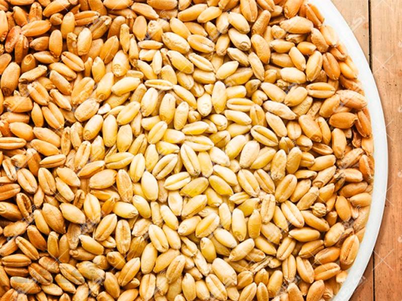 شرکت زرخیز گرماب تولیدکننده بذر گندم