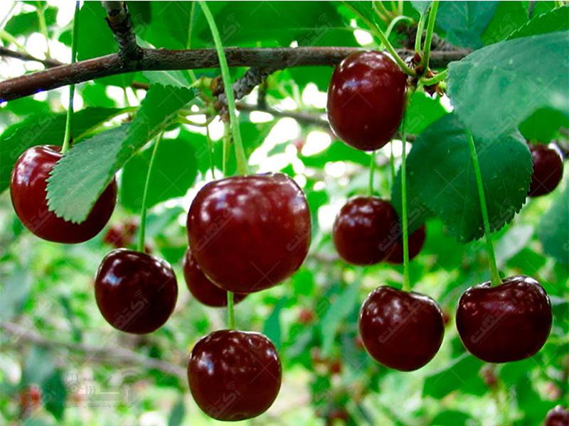 فروش انواع بذر نهال گلابی سیب مشهد