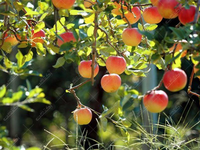 شرکت درختان طلایی دماوند