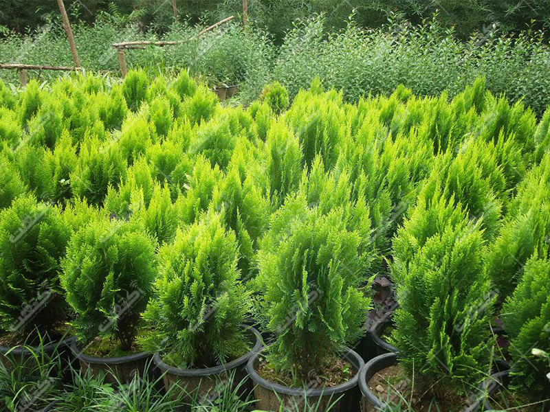 گلخانه امیر، فروش انواع کاج مطبق