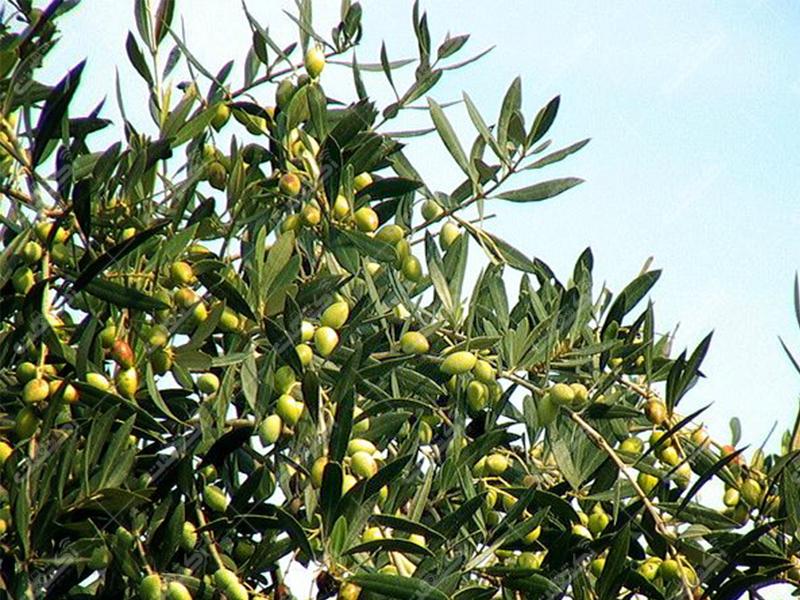 نهال زیتون اصلاح شده با قیمت 5 هزار تومان