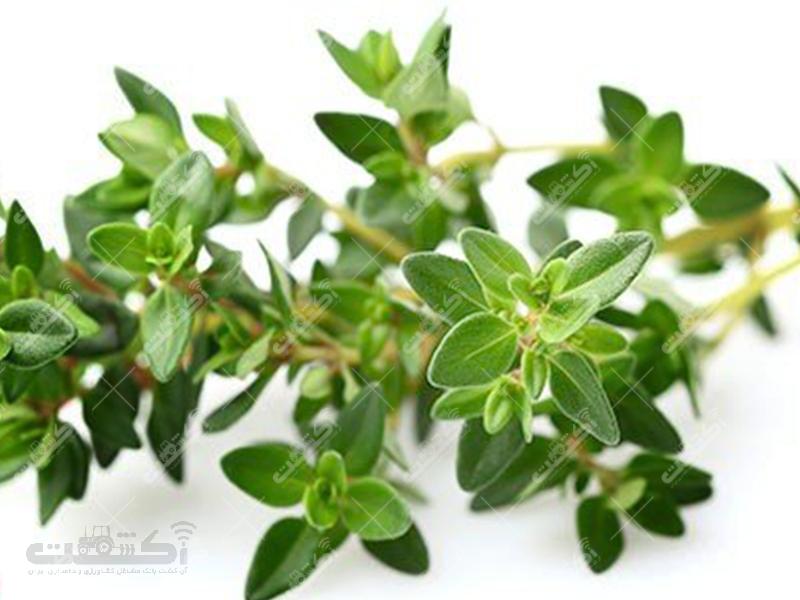تولید نشا و گلدان گیاهان دارویی