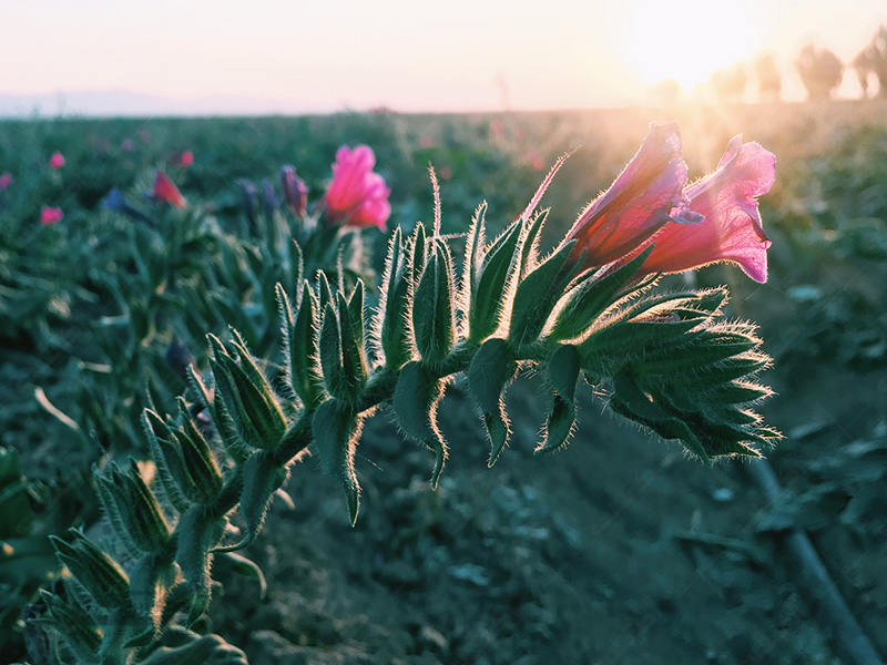 فروش نشاء گیاهان دارویی؛ آویشن، گل گاوزبان،مریم گلی