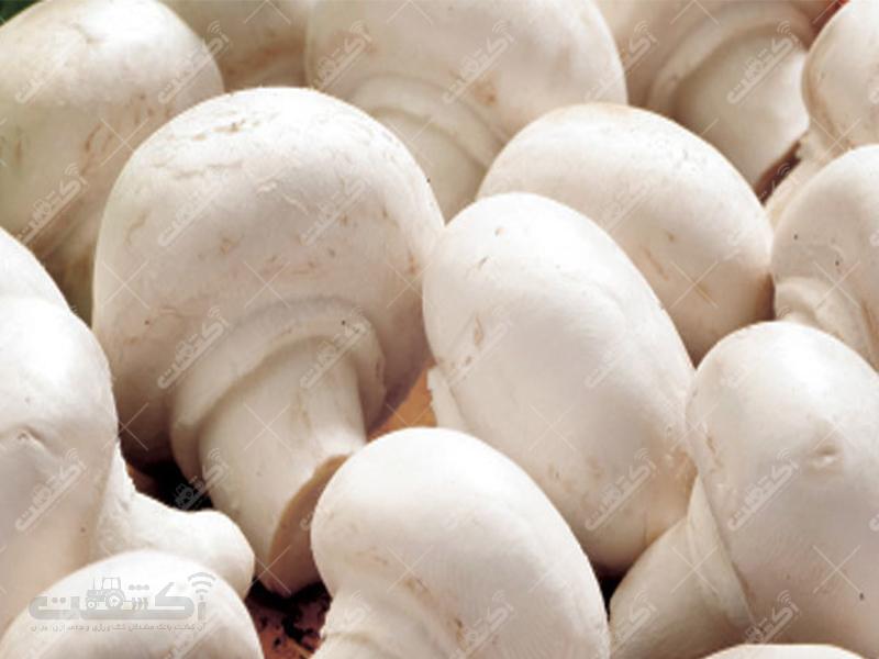 شرکت قارچ شیراز