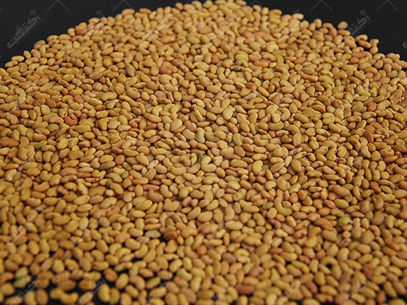 خرید و فروش انواع بذر یونجه اصلاح شده