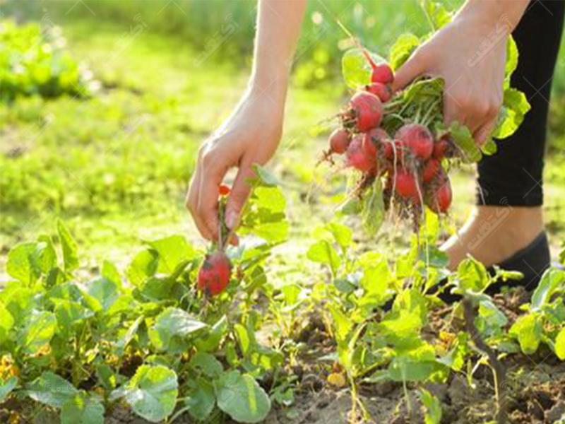شرکت سهامی زراعی بهکده رضوی
