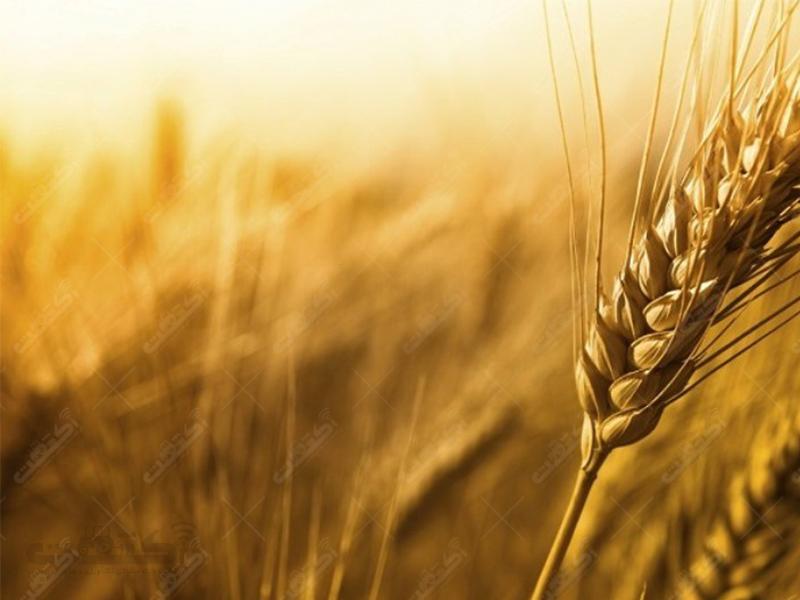 شرکت سهامی زراعی ایثارگران سرچاه عماری