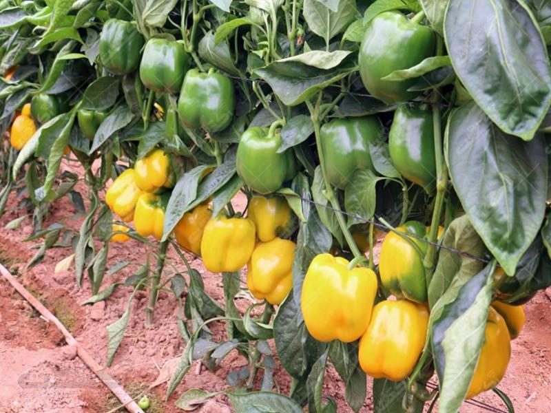 شرکت تعاونی گلخانه داران کیخا(جنوب کرمان)