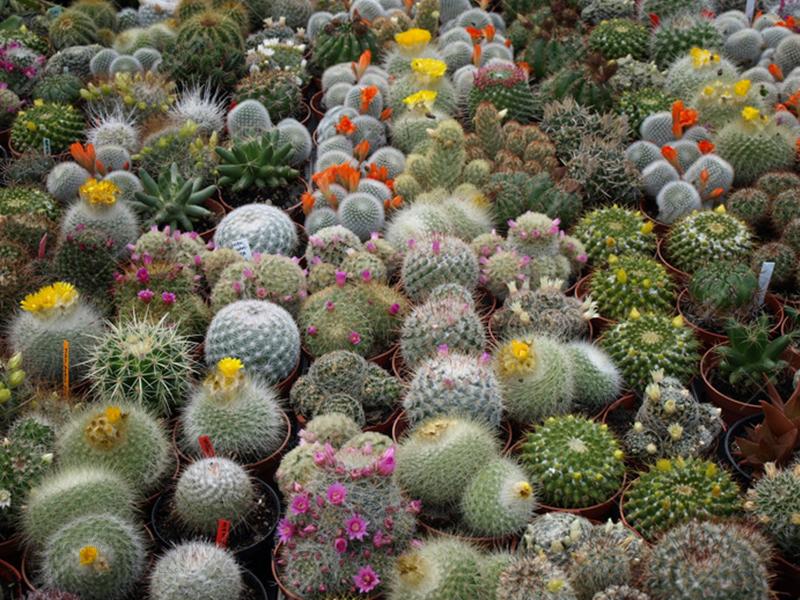 طرح توجیهی کاشت کاکتوس گلخانه ای