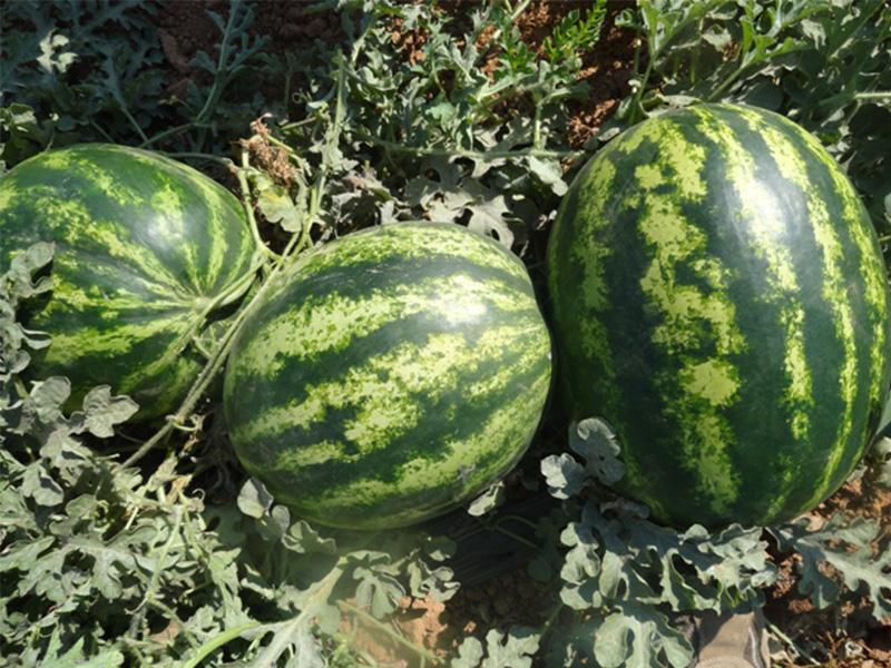 هندوانه هیبرید یلدا