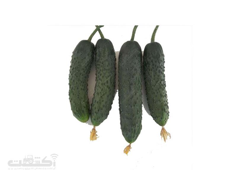 بذر خیار 1504(خاردار)