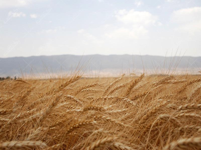 تولید بذر گندم
