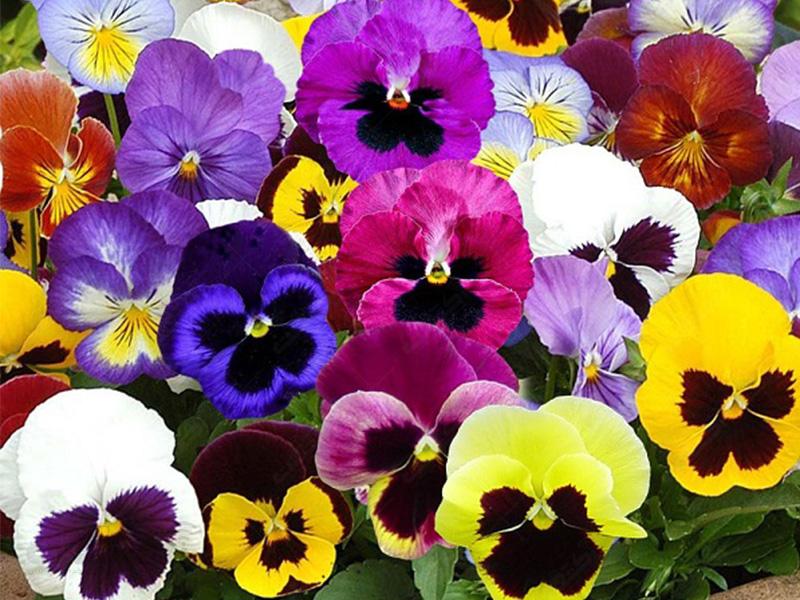 بذر بنفشه سه رنگ