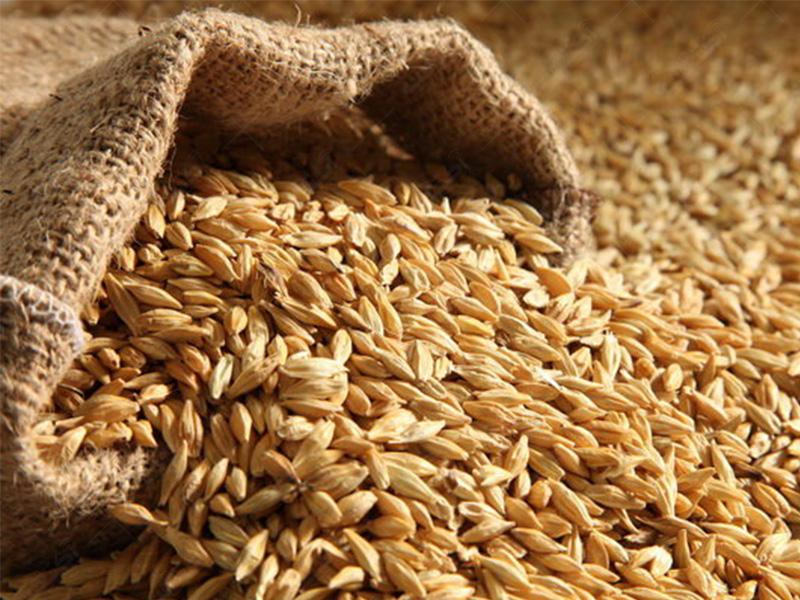 تولید بذر جو