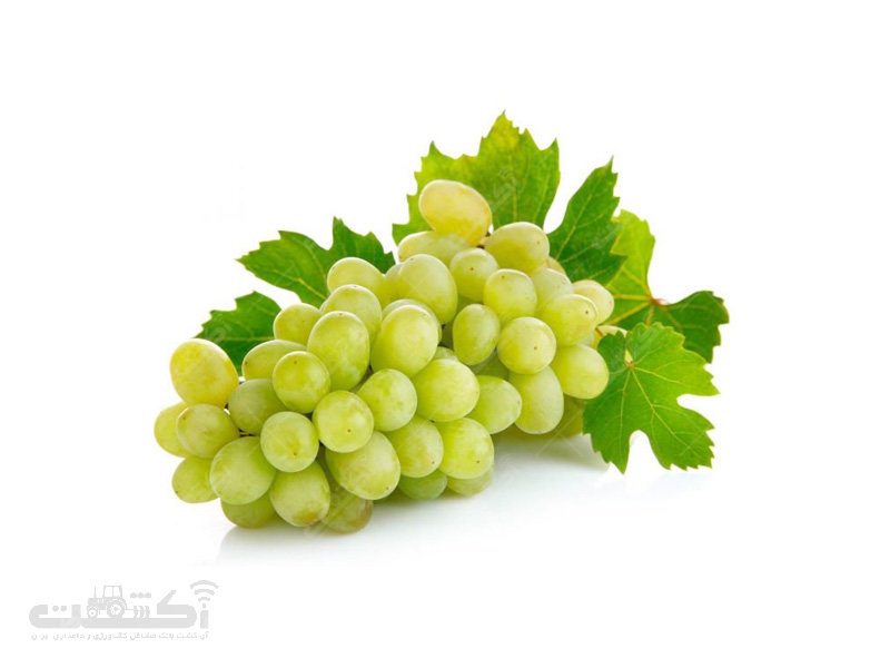 تولید انگور