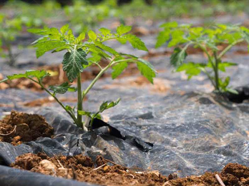 انواع نایلون کشاورزی و مالچ (شفاف، مشکی و دو رنگ)