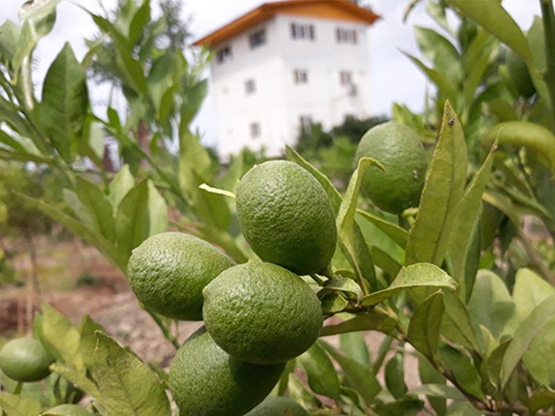 لیمو ترش لایم کوات