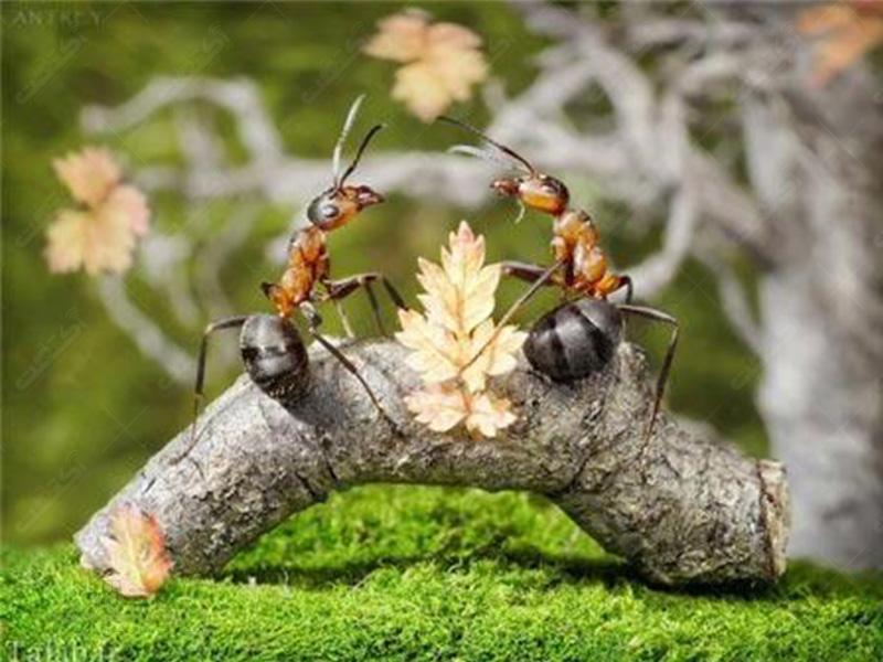 سمپاشی مورچه