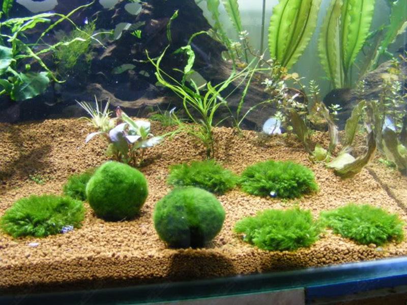 گیاه آبزی و آکواریومی Marimo moss ball