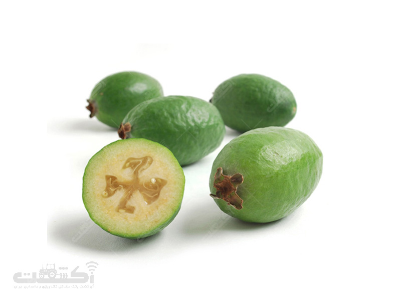 بذر میوه فوجیا بیضی دیررس
