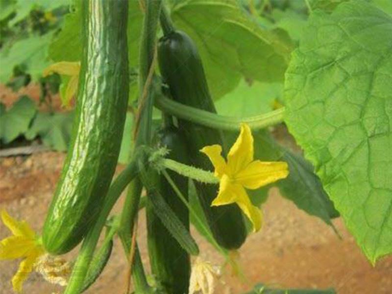 بذر خیار گلخانه ای آریا